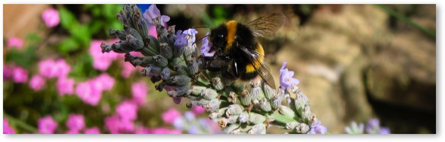 Bumble bee on lavender.